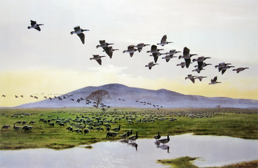 Barnacle Geese at Caerlaverock by Peter Scott