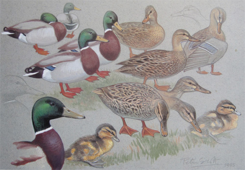 Sir Peter  Scott: Mallard
